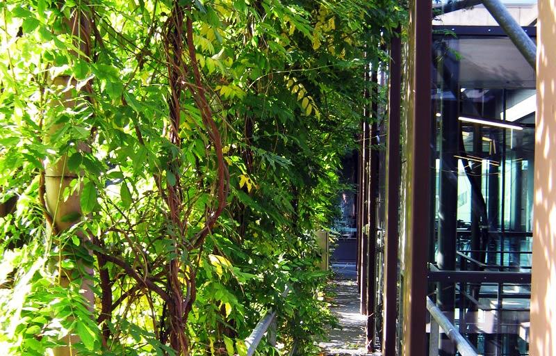 Blauregen, Clematis und wilder Wein kühlen das Physik-Gebäude der HU. Bild: Adlershof Special